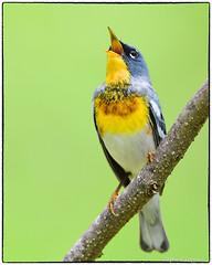 Singing Northern Parula (RKop) Tags: d500 nikkor600f4evr 14xtciii huestonwoodspark raphaelkopanphotography ohio handheld iso400f561640 warblers warbler