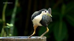 IMG_3239 White-breasted Waterhen (Amaurornis phoenicurus) (vlupadya) Tags: greatnature aves fauna indianbirds whitebreasted waterhen amaurornis kundapura karnataka