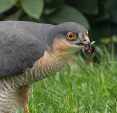 Male Sparrowhawk - nest pillaging (john.purvis) Tags: red sparrowhawk malesparrowhawk raptor
