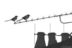 Couple (Clém VDB (TIOGRIS)) Tags: oiseaux birds couple animal urbain monochrome bw pie magpie
