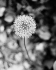 DSC06137 (honeymouse5) Tags: dandelion wish sonya6000 minimal blackandwhite 50mm sony seeds