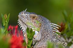 Iguana ( Iguana iguana ). (Kristian Ohlsson) Tags: nikonkrille 200500 d850 d500 nature keywest florida reptilephotography wildlifephotography reptile lizard iguanas wildlife