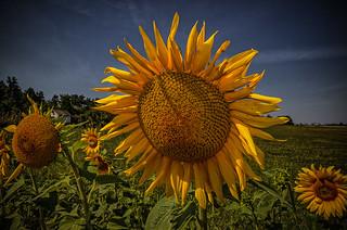 another wonderful sunflower