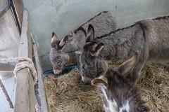 P1250219_edit (The Oldhams) Tags: cornwall donkeys flickadonkeysanctuary