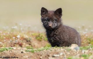 Black variant Red Fox Kit (Vulpes vulpes)