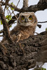 Great Horned Owlet (fascinationwildlife) Tags: animal bird birding great horned owl virginia uhu owlet cute curious raptor vogel raubvogel wild wildlife nature natur thornton denver colorado usa america tree branch eule