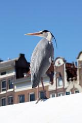 Market Heron (gooey_lewy) Tags: heron bird amsterday detail light urban amsterdam holland netherlands market awaiting