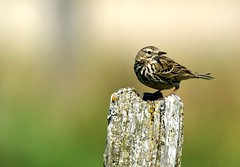Meadow pipit (Jaedde & Sis) Tags: engpiber meadowpipit anthuspratensis tipperne denmark perched post profile challengefactorywinner unanimous thechallengefactory sweep pregamewinner storybookwinner duelwinner