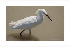 Snowy Egret (Egretta thula) (prendergasttony) Tags: egret florida america tonyprendergast nikon d7200 wildlife aviian rspb dagger snowy egrettathula black yellow white river