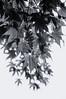 cascade (RubyT (I come here for cameraderie!)) Tags: черноеибелое pentaxkp da50200wr japanesemaple acerpalmatum leaves pentaxart pentax bw nb bn mono monocromo monochrome blackandwhite schwarzweiss noirblanc blancoynegro