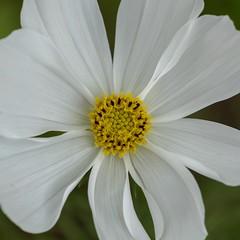 Flower macro (billcoo) Tags: xf80mm garden fujifilm bokeh white