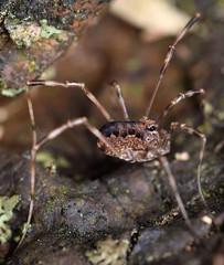3.1 mm juvenile brown harvestman (ophis) Tags: arachnida opiliones eupnoi phalangoidea phalangiidae phalangium phalangiumopilio harvestman