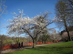 Oh, spring! (Genie W.) Tags: highpark cherryblossom sakura toronto spring canonpowershotsx40hs