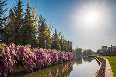 Flowering in the sun (The Frustrated Photog (Anthony) ADPphotography) Tags: adalar category eskisehir flora hdr turkey canon1585mm canon70d canon pinetree pine trees river water reflections reflection watercourse waterway wisteria vine plant flower sun sky sunstar travelphotography city grass outdoor park garden tree