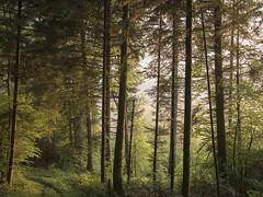 Entrez dans la sapinière ***--+ (Titole) Tags: sapin fir firtree titole nicolefaton forest path mist storybookchallenge 15challengeswinner thechallengefactory
