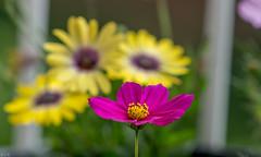Flowers-2 (raghunandanboggarappu) Tags: flowers homegrown