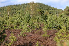 Cairngorms National Park (BSCG (Badenoch and Strathspey Conservation Group)) Tags: acm landscape tree regeneration pine pinus pinewood may sunshine birch heather