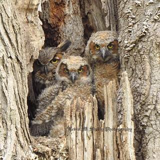 Great Horned Owl Family Portrait 2018
