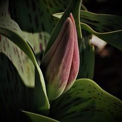 Just Before the Awakening (Insearchoflight) Tags: florafauna tulips flowers springwonders floralbeauty tulip justbeforeopening stjohns newfoundlandandlabrador waynenorman insearchoflight inthegarden naturephotography outdoorlight springtreasures netartii vividstriking