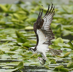 Osprey With Rainbow Trout (ken.helal) Tags: