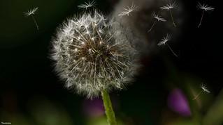 Low Key Dandelion in the wind