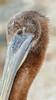 Peruvian Pelican (Pelecanus thagus) (Arturo Nahum) Tags: chile aves animal arturonahum ave airelibre birdwatcher bird birds wildflife wild nature naturaleza naturephotography pajaro pajaros uhd pelecanusthagus peruvianpelican zapallar