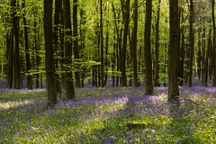 Angmering Park Bluebells - Sussex (E_W_Photo) Tags: angmeringpark wephamwoods bluebells sussex canon 80d sigma 1750mm
