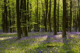Angmering Park Bluebells - Sussex
