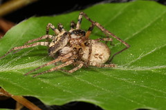 "Couple d'Anyphaena accentuata, l'araignée ""citroën"". (chug14) Tags: unlimitedphotos animalia arthropoda arachnida araneae anyphaenidae araignéecitroën araignéevibrante araneaaccentuata anyphaenaaccentuata"