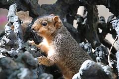 Squirrels (including Juveniles) in Ann Arbor at the University of Michigan (May 16th, 2018) (cseeman) Tags: gobluesquirrels squirrels annarbor michigan animal campus universityofmichigan umsquirrels05162018 spring eating peanut mayumsquirrel overcast art publicart angryneptunesalaciaandstrider statue bronze micheleokadoner micheleokadonerstatue squirrelsandart squirrelsandpublicart livingart squirreljuveniles squirrelnests squirrelsiblings siblings foxsquirrels easternfoxsquirrels michiganfoxsquirrels universityofmichiganfoxsquirrels