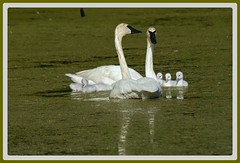 {}{}{} Swan Family Swim - III. {}{}{} (Wolverine09J ~ 1.5 Million Views) Tags: eastmanlatemayswans17 trumpeterswans adults young brood avianwildlife waterfowl swimming freshwaterpond minnesota naturecenter family springtime autofocuslevel1 thelooklevel1red