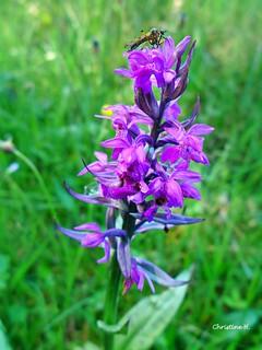 die heimischen Orchideen blühen wieder