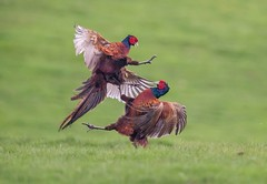 Pheasant fight (Nigey2) Tags: springwatch