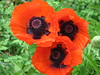 Poppies (AmyWoodward) Tags: poppy orientalpoppy fantasticflower
