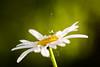 Grasshopper on a daisy (Till2310) Tags: grashüpfer grasshopper margerite daisy blume blüte flower blossom insekt tier pflanze animal insect plant garden garten grün green gelb yellow weis white makro macor 100mm 5diii cluseup nahaufnahme