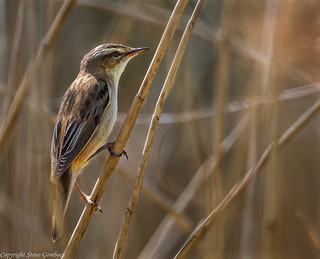 Sedge Warbler