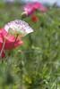 Poppy_11 (kaz_Pinguist) Tags: pentax k1 20180520 saitama frower 100mmf28macro poppy