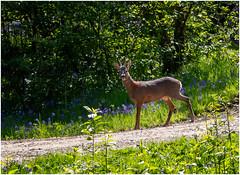Bluebells and...OMG it's a Roe Deer! (Aranelinya) Tags: canonefs1585mm roedeer deer bluebells riccaldale northyorkshire unexpected