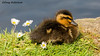 Mallard Duckling (DougRobertson) Tags: ninesprings yeovil mallard duck duckling bird birdwatcher waterfowl wildlife animal nature water grass daisy coth coth5