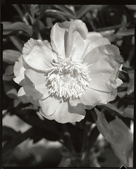 Peony #2 (Mark Dries) Tags: markguitarphoto markdries largeformat cambo aporonar 9300 rodenstock 4x5 rollei apx400 r09 150 2200 ilford mgiv selenium sepia darkroomprint