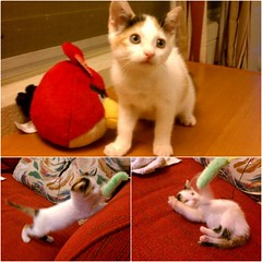 Momo's Playtime (Tabo Kishimoto) Tags: momo gato chat neko katzen playtime happy rescued foreverhome