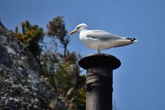 Herring Gull (philk_56) Tags: jersey channel islands bird seabird herring gull chimney