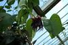 Passiflora (eyair) Tags: ashmashashmash uk london england richmond surrey kew kewgardens passiflora passionflower