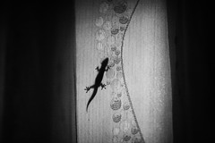 The Curtain Dragon (N A Y E E M) Tags: gecko lizard curtain afternoon light availablelight naturallight indoors window bedroom home rabiarahmanlane chittagong bangladesh
