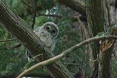 05202018Barred Owl FU5A1704 (Steven Arvid Gerde) Tags: owl