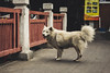 Street Dog - Bangkok, Thailand (ph.pigozzi) Tags: dog asiandog trip asia thailand bangkok indochina asiantrip exploringtheworld travel traveling asianculture street bangkokstreet