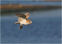Barn Owl (Antony Ward) Tags: barnowl bif birdsinflight
