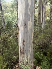 Eucalyptus sp (Baractus) Tags: eucalyptus mountain valley tasmania australia john oates inala nature tours