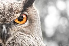 IMG_5491 (PhotosArt11) Tags: grand duc hibou art animaux animalier noir et blanc couleur