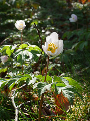 Wood anemone (Anemone nemorosa), Valmigere (Niall Corbet) Tags: france occitanie languedoc roussillon aude valmigere woodanemone anemonenemorosa beech fagus forest